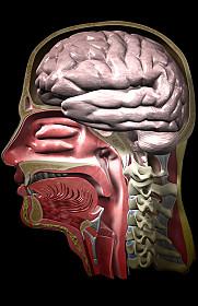cranio in sezione sagittale